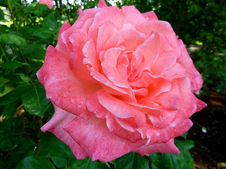 Rose, Flora, Flower, Nature, Pink, Fragrance, Beauty