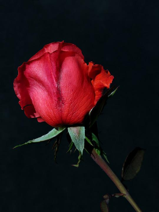 Rose, Red, Flower, Plant, Blossom, Bloom, Beauty