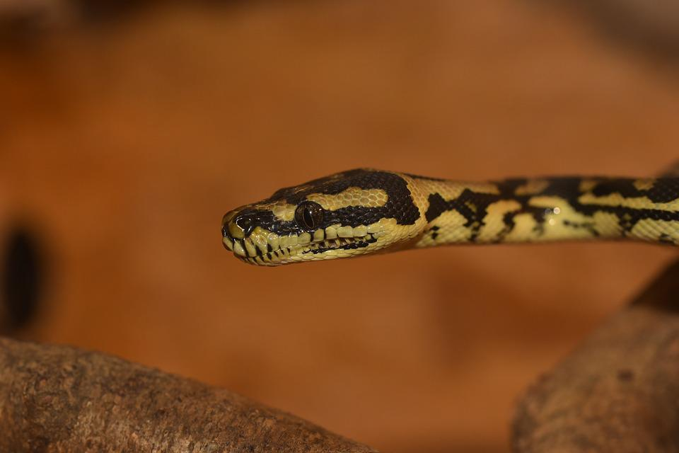 Python, Snake, Animal, Constrictor, Reptile, Beauty