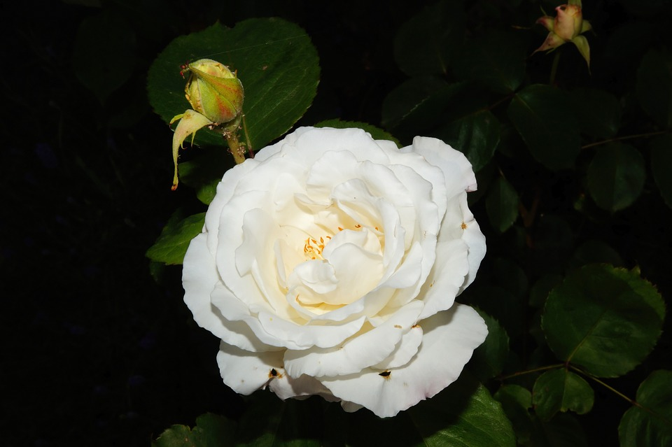 Rose, Blossom, Bloom, White, Fragrant, Beauty