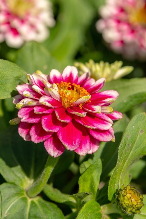 Flower, Summer, Garden, Beautiful, Petals, Beauty