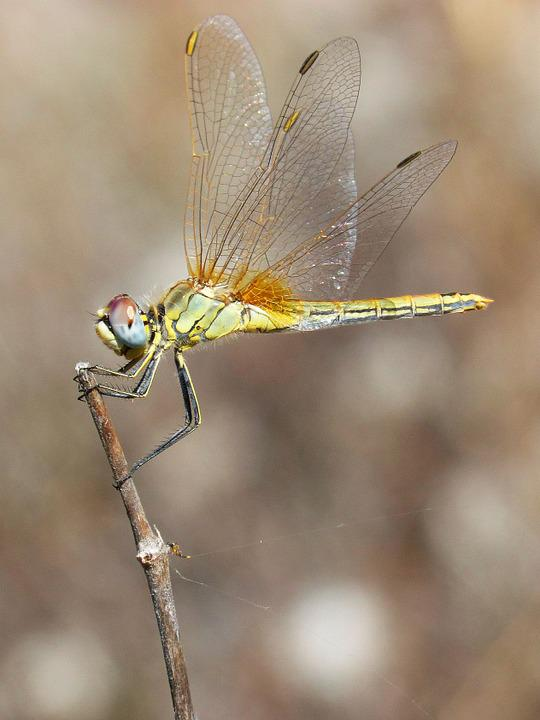Dragonfly, Beauty, Wings
