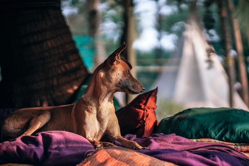 Adorable, Animal, Background, Bed, Breed, Brown, Canine