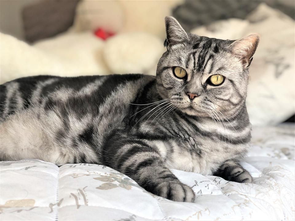 Animal, Bed, Blanket, British, Cat, Closeup, Comfort