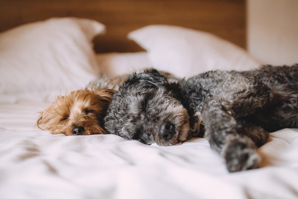 Bed, Dog, Animals, Pets, Relax, Sleeping, Calm, Sleepy