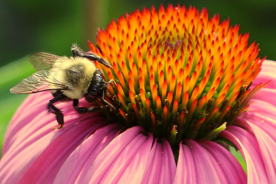 Bee, Bee And Flower, Pollen, Macro, Pollinate