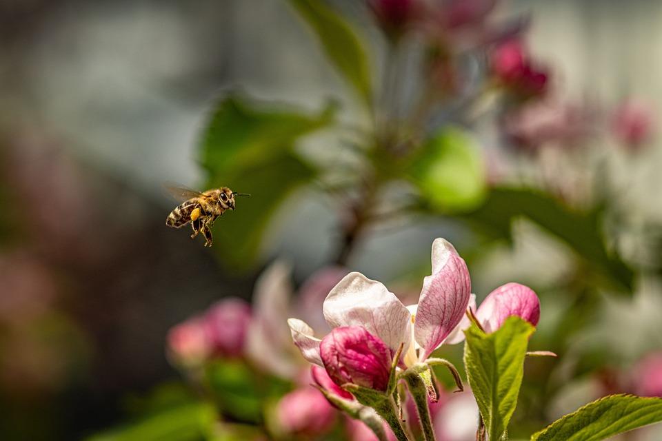 Apple Blossom, Blossom, Bloom, Spring, Bee, Flight