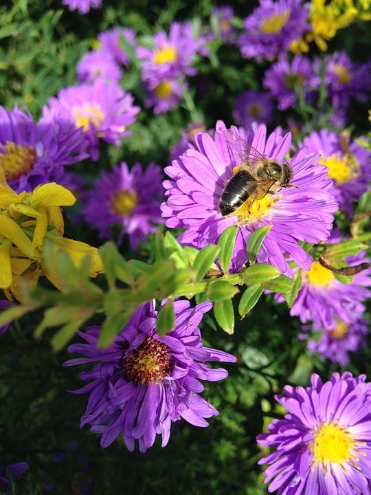 Aster, Herbstaster, Bee, Wild Bee, Sprinkle, Honey