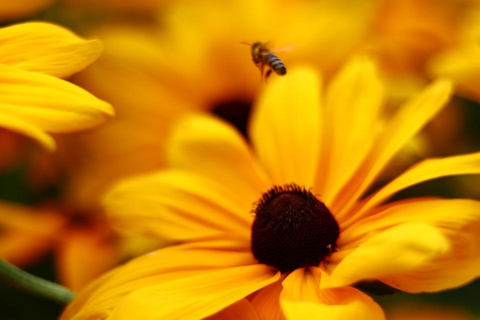 Bee, Honey, Flower, Blossom, Bloom, Yellow, Bees