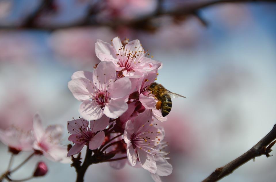 Bee, Blood Plum, Nectar, Branch, Flowering Twig, Nature