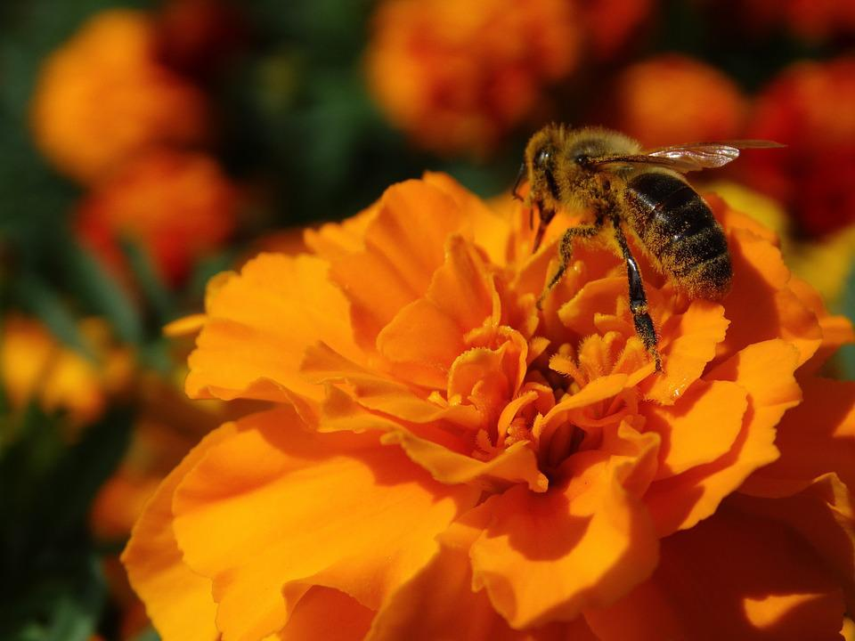 Marigold, Flowers, Blossom, Bloom, Bee, Flora, Orange