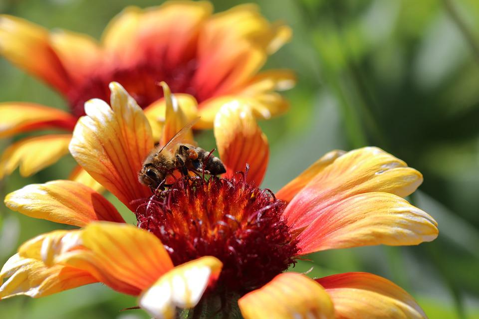 Bee, Flower, Blossom, Bloom, Bloom, Garden, Plant