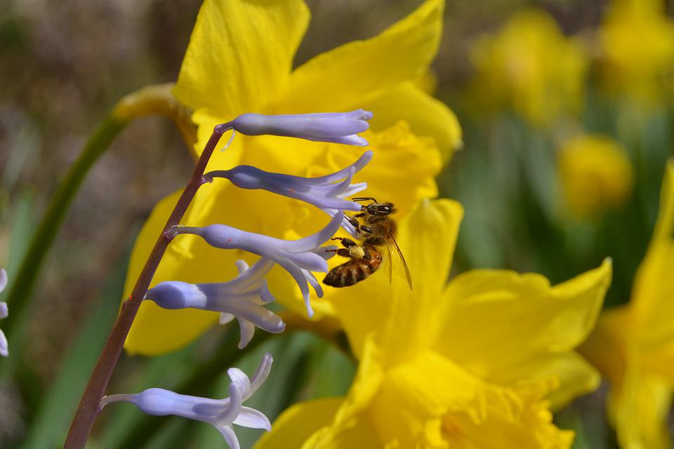 Bee, Blossom, Bloom, Spring