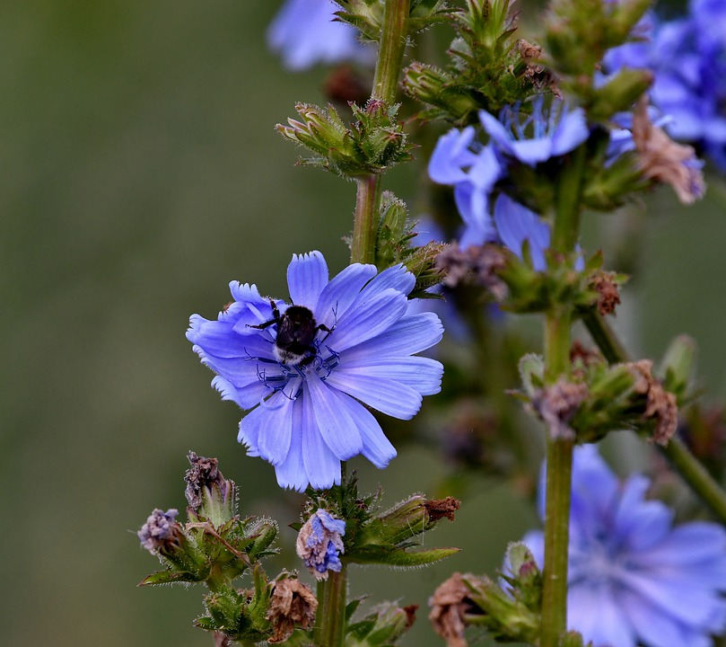 Chicory, Wild, Flowers, Nature, Bee, Bug, Summer, Blue