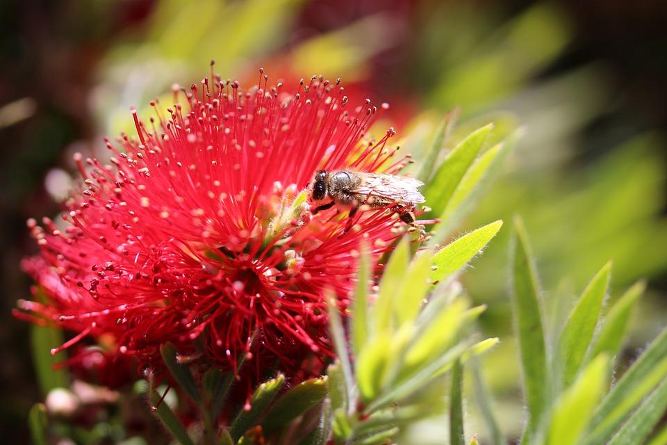 Bee, Pollination, Callistemon, Bottlebrush Flower, Red