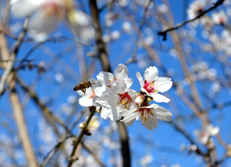 Modesto, Central Valley, Almond Blossom, Bee, Blue Sky