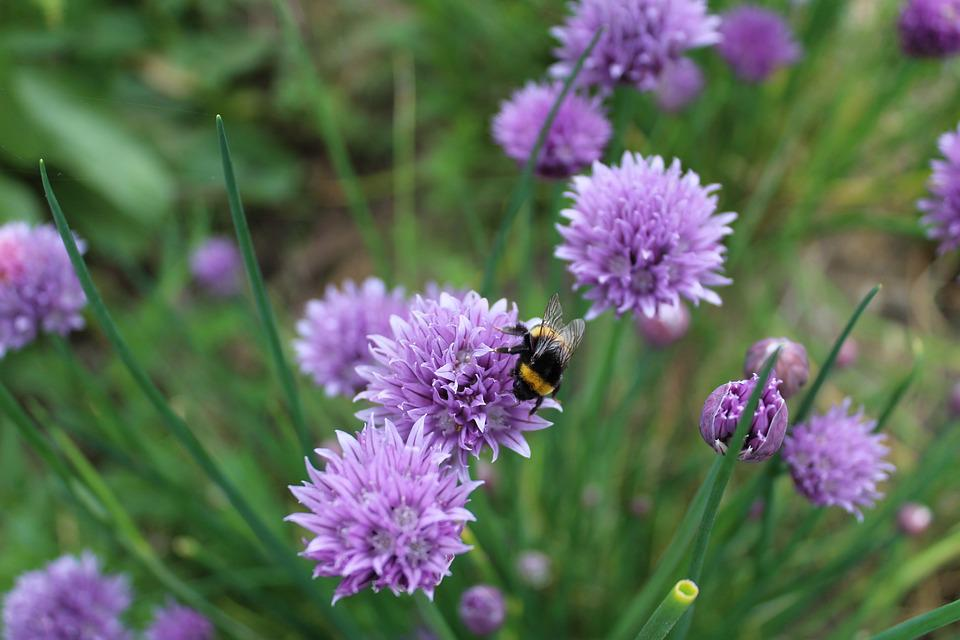 Chives, Aromatic Plant, Chive Flower, Herbs, Bee