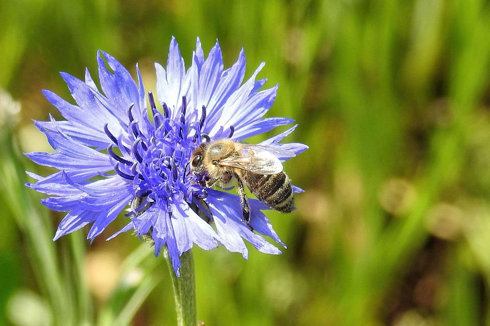 Cornflower, Bee, Nature, Summer, Flower, Plant