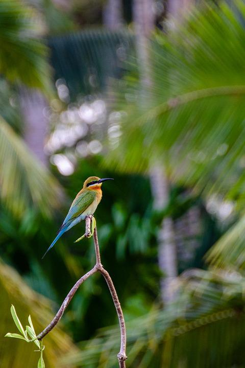 Blue-tailed Bee Eater, Bee Eater, Bird, Colorful