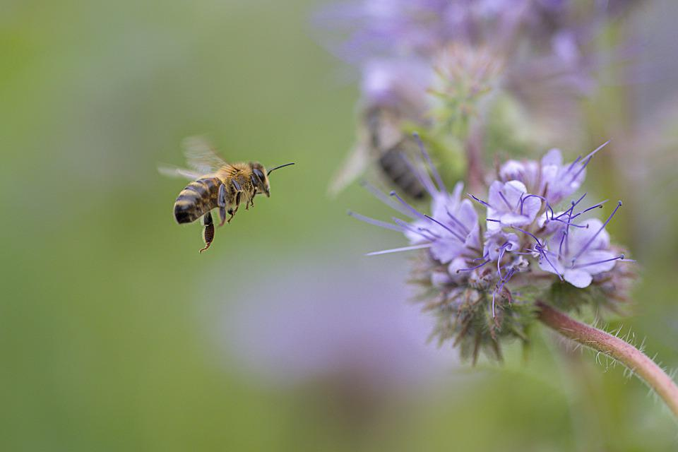 Bee, Flight, Flowers, Insect, Hymenoptera