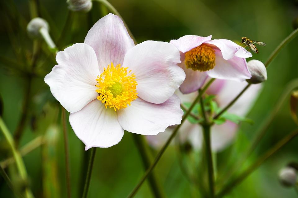 Flower, Anemone Sylvestris, Bee, White Petals