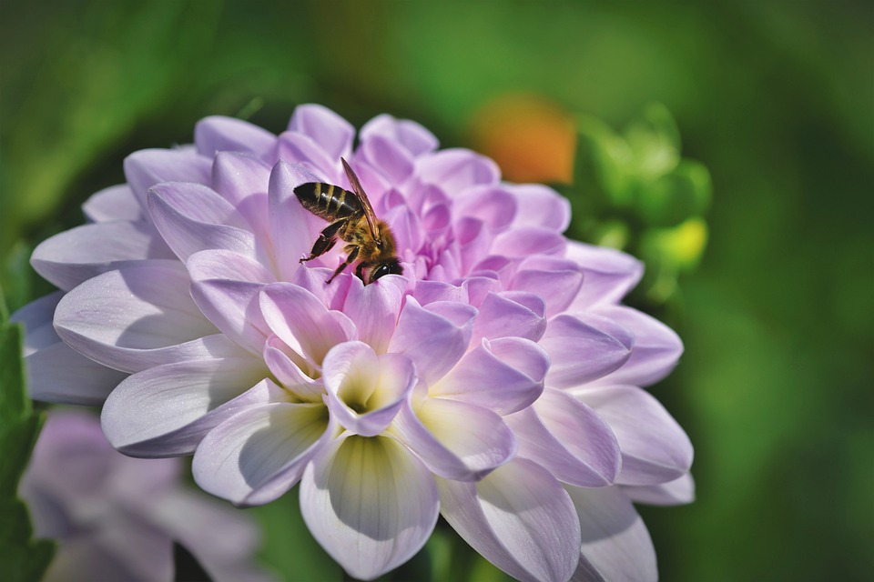 Dahlia, Bee, Nectar, Blossom, Bloom, Petals, Flower