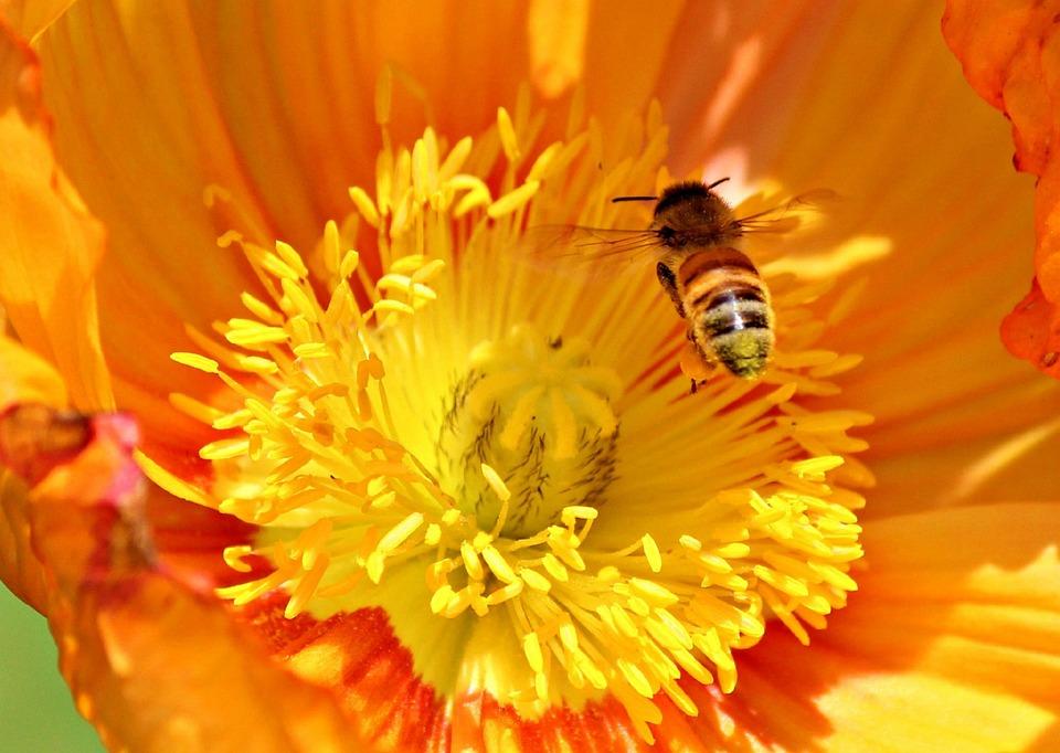 Poppy Flower, Bee, Orange, Flower, Poppy, Spring