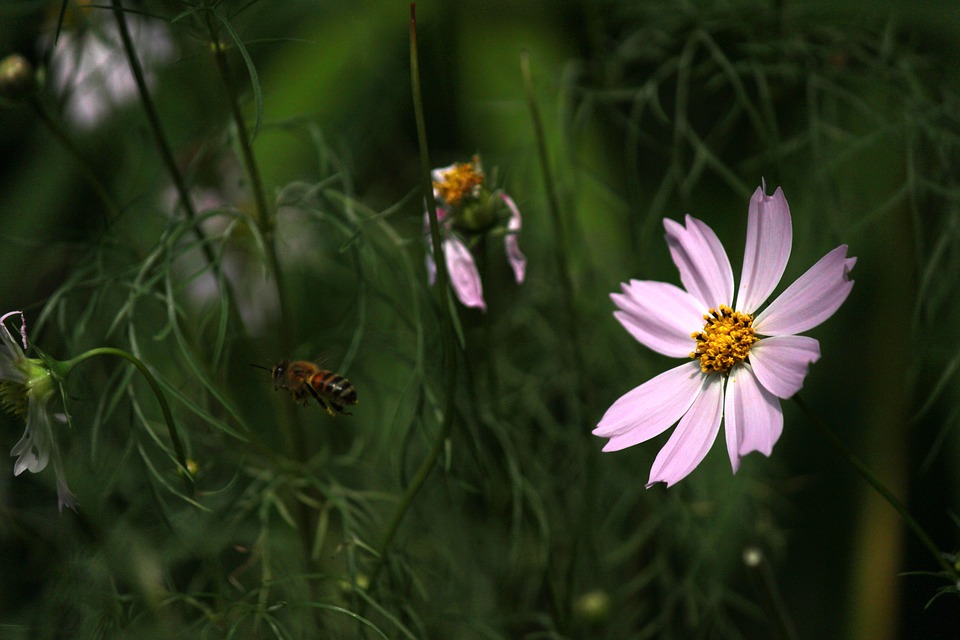 Cosmos, Bee, Bug, Flowers, Summer, Plants, Nature