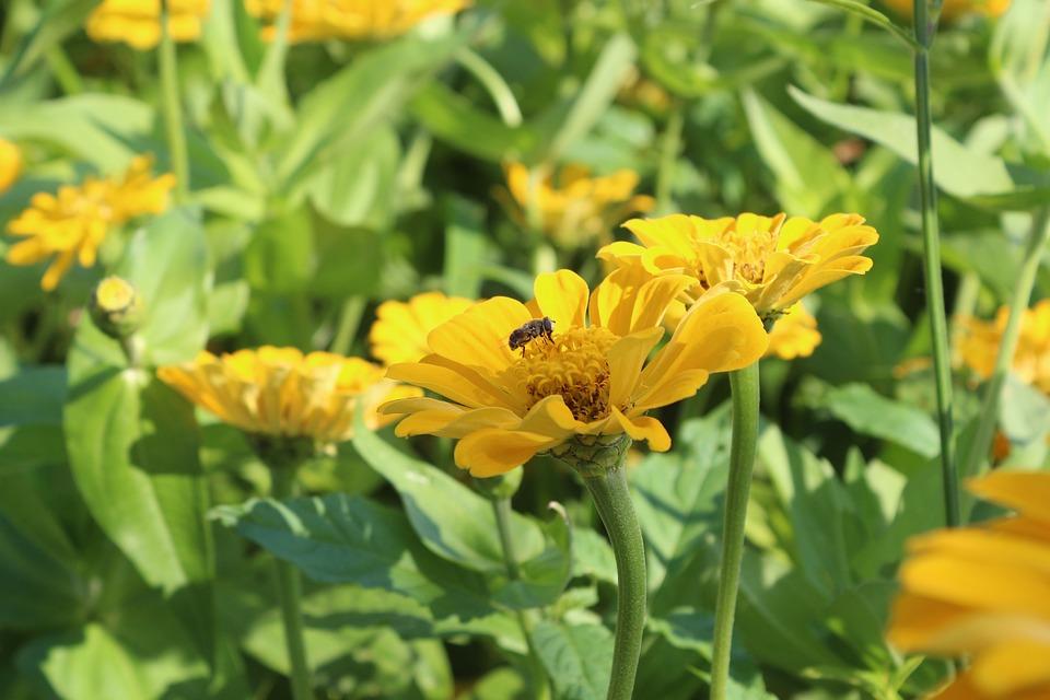 Flowers, Bee, Cornflower