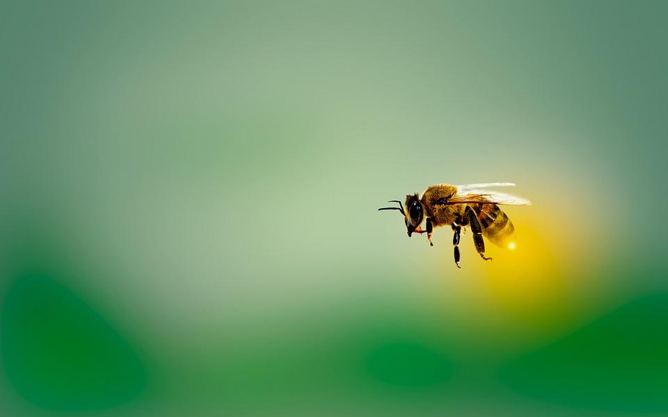 Bee, Honeybee, Insect, Fly
