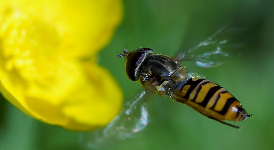 Insect, Nature, Bee, Fly