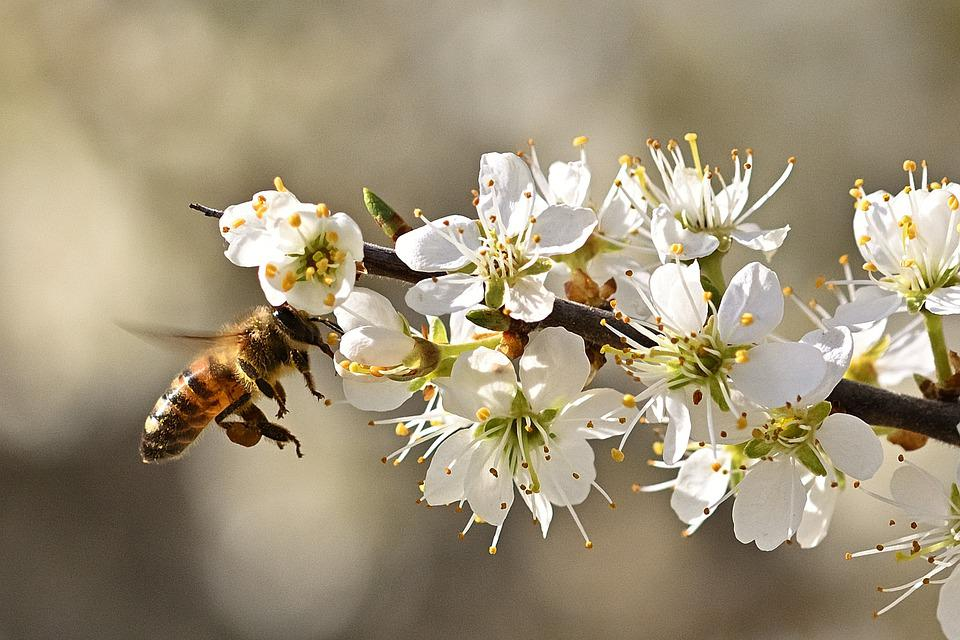 Honey Bee, Flying, Flowers, Bee, Insect, Pollination