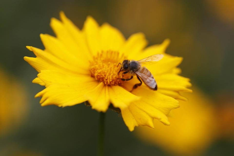 Gesanghua, Bee, Yellow