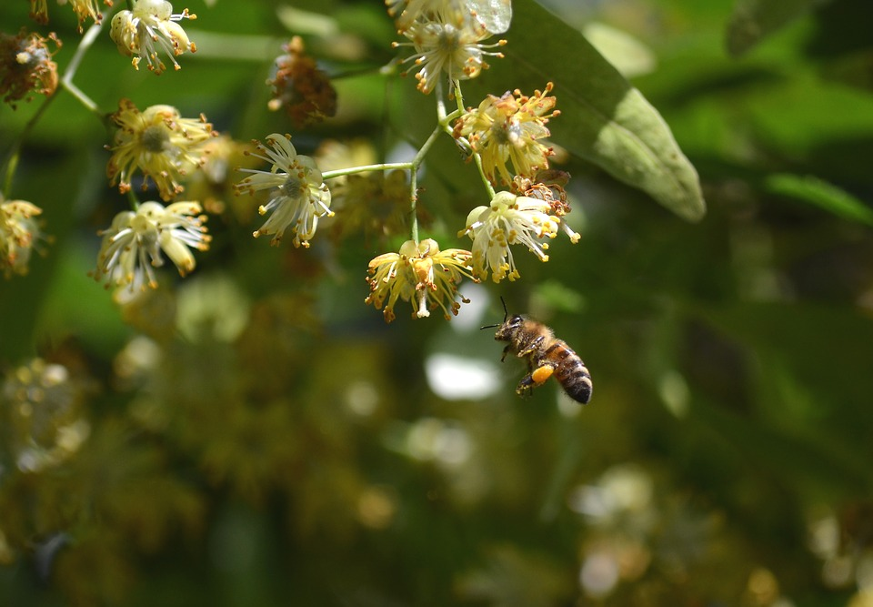Bee, Linden Flower, Honey Bees, Insect, Nature