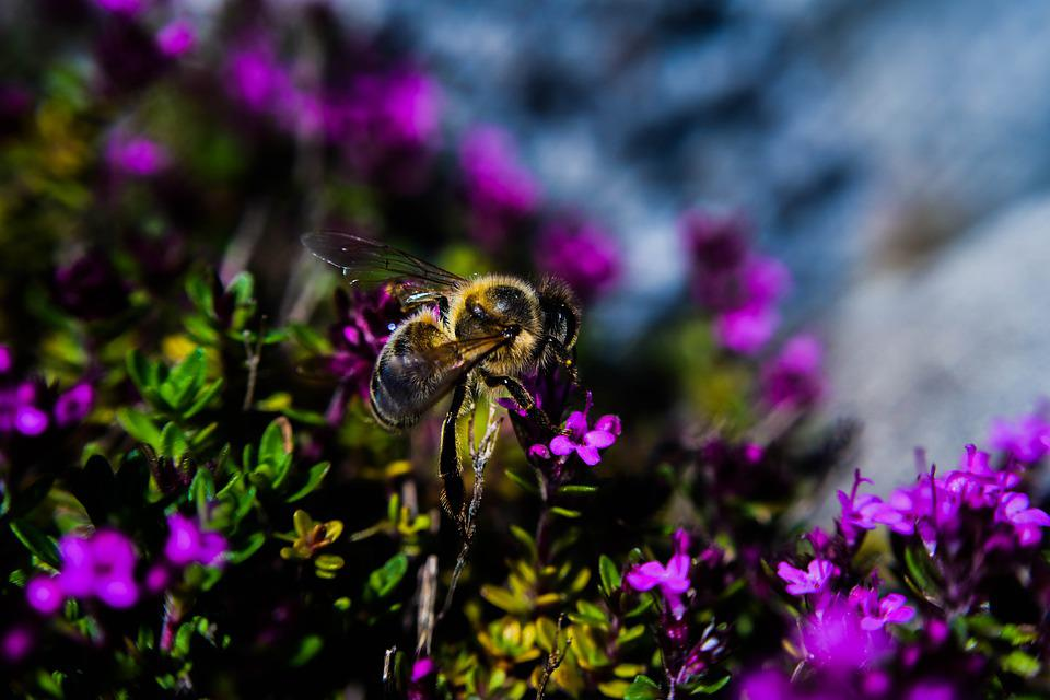 Bee, Honey, Flower, Insect, Nature, Nectar, Pollen