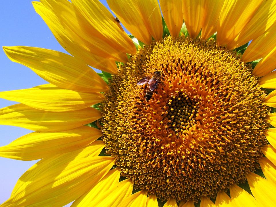 Sunflower, Plant, Flower, Yellow, Bee, Honeybee