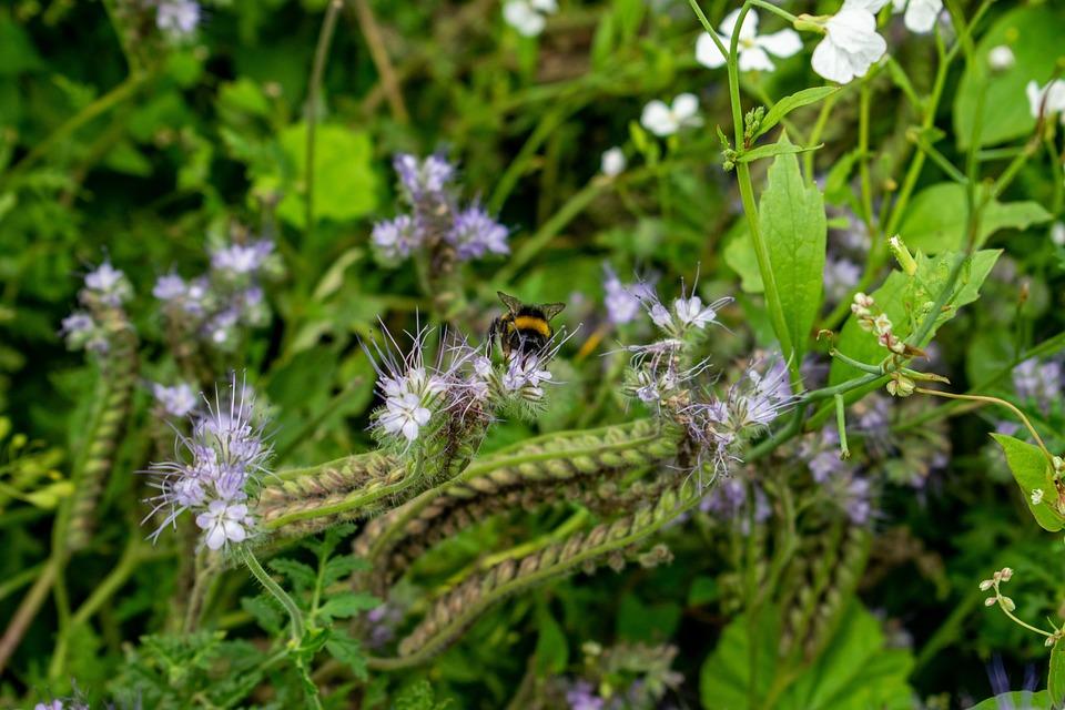 Flower Strips, Hummel, Bee, Insect, Beetle, Flower