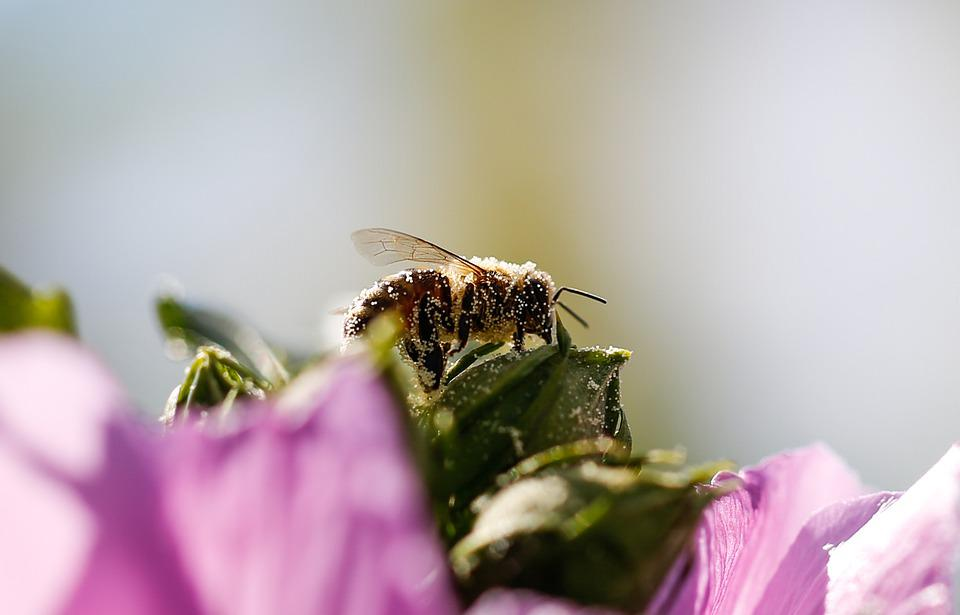 Bee, Insect, Wings, Pollination, Pollinate, Blossom