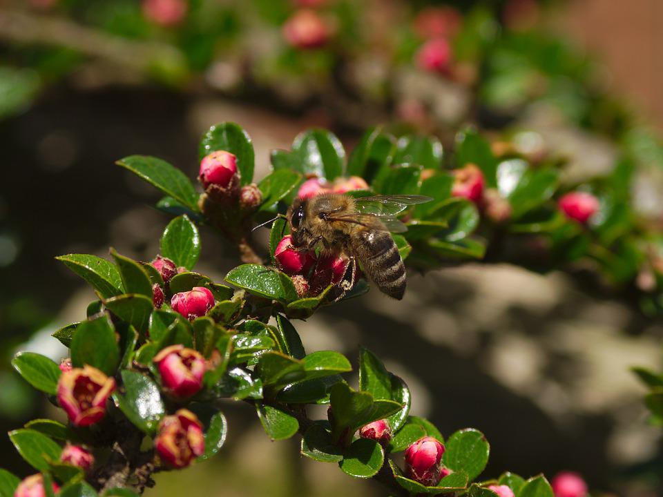 Honeybee, Pollination, Cotoneaster, Bee, Nature, Insect