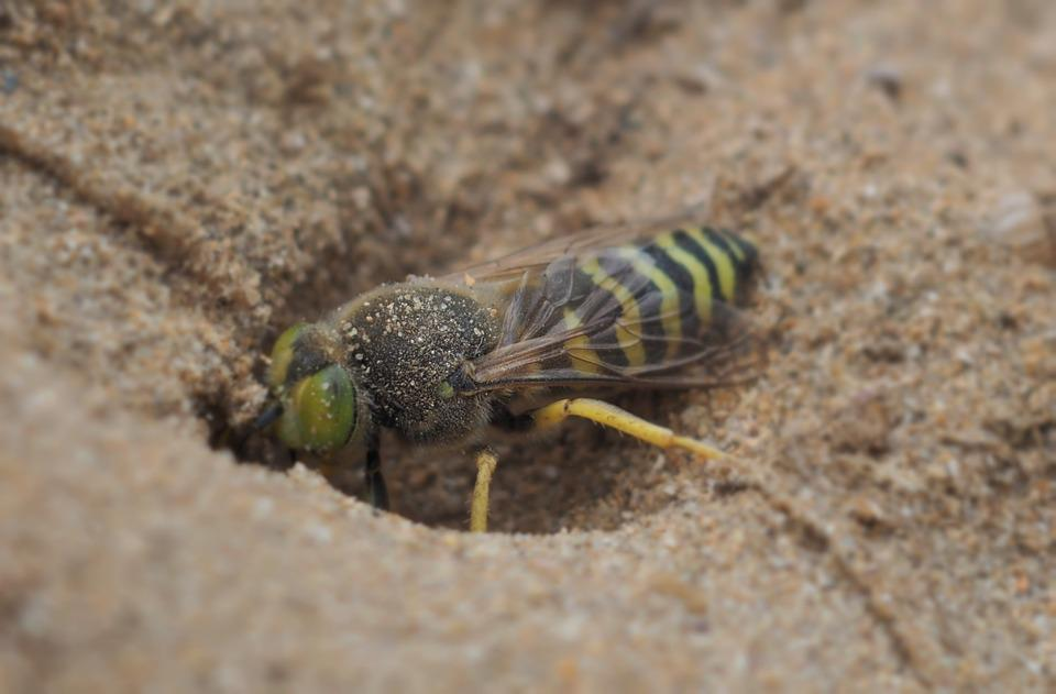 Wasp, Animal, Sand, Insect, Nature, Bee, Yellow, Macro