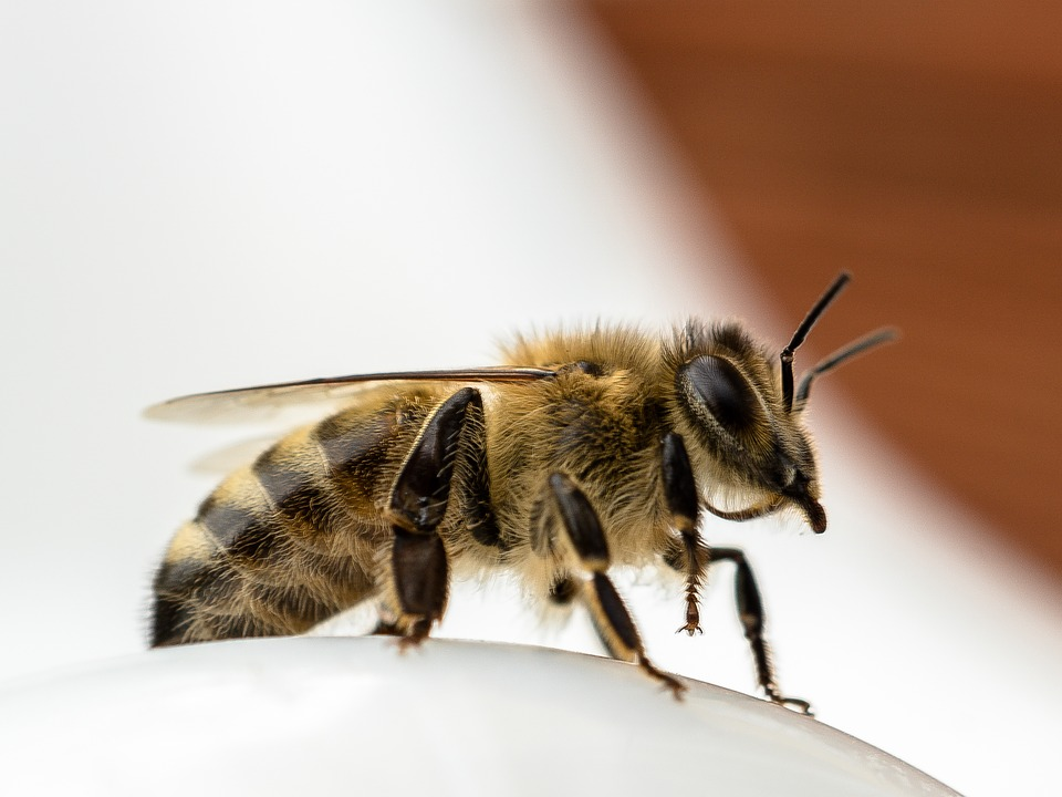 Bee, Close, Insect, Side View