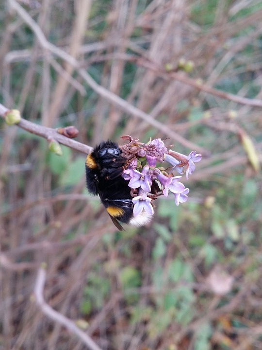Bumblebee, Nature, Bee, Insect, Natural, Sweet, Animal
