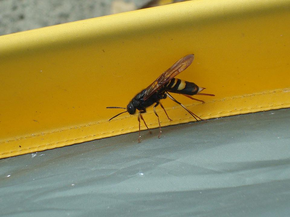 Wasp, Insect, Bee