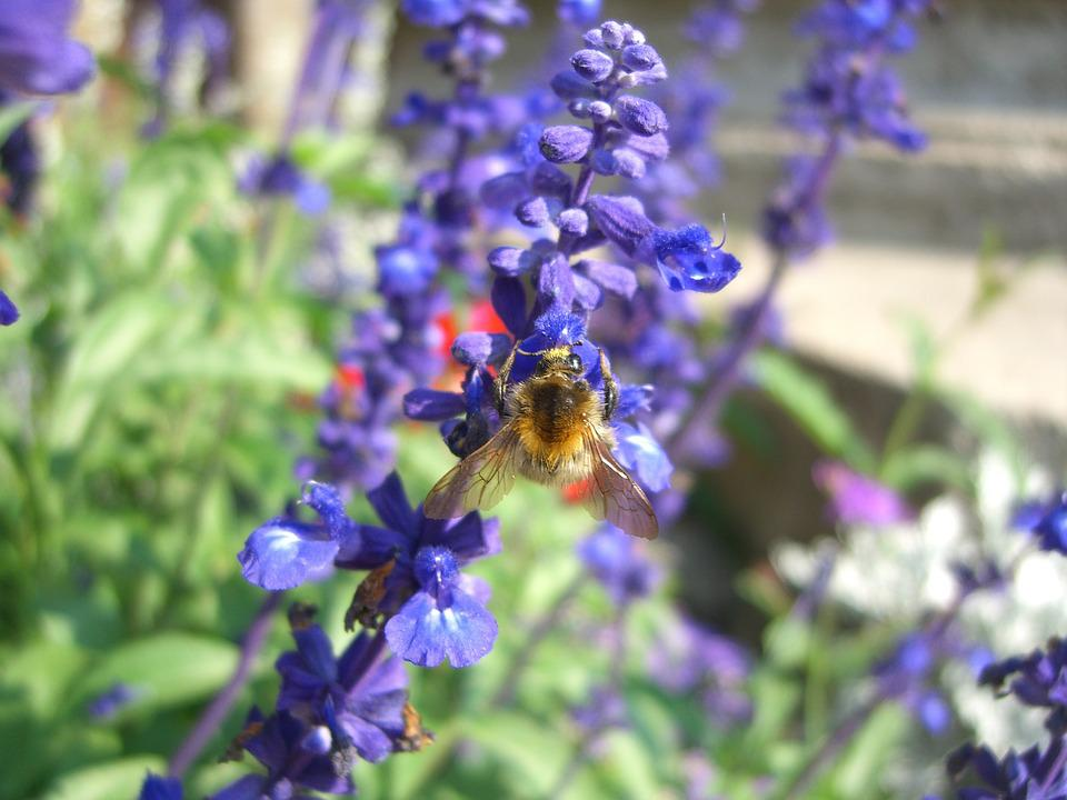 Bee, Lavender, Summer, Garden, Insect, Fragrance