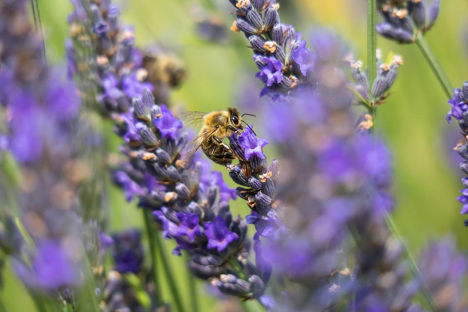 Lavender, Medicinal Plant, Bee, Herb, Nectar, Collect