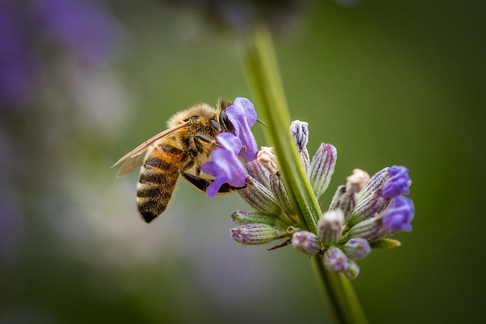 Honey Bee, Lavender, Bee, Insect, Nature, Honey, Nectar