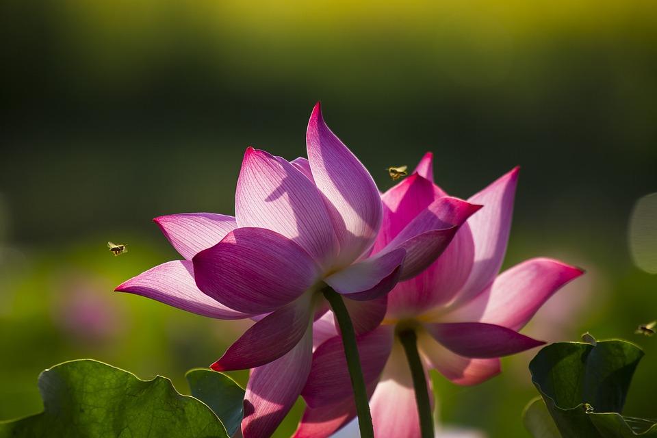 Bee, Lotus, May Flower Season, Vibrant Colors, Plant