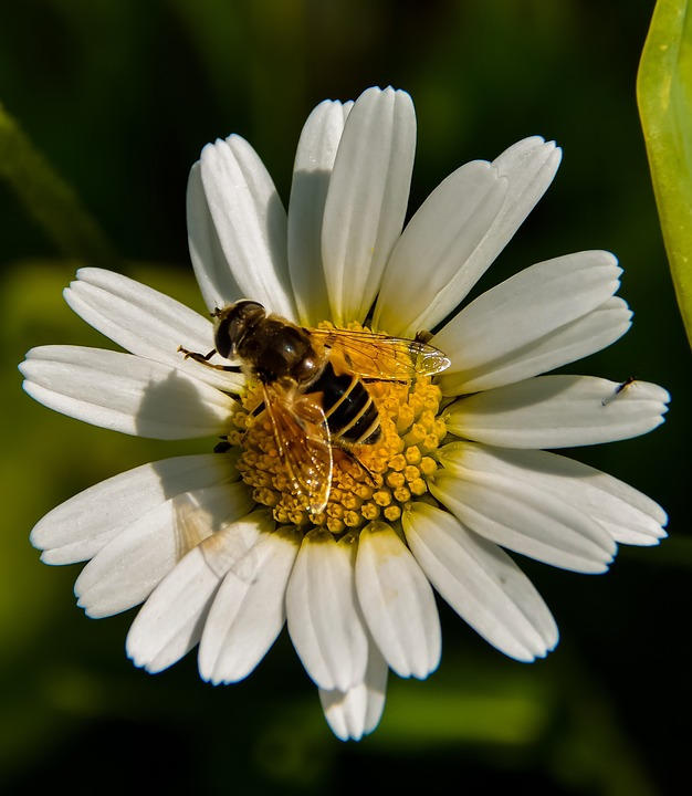 Marguerite, Bee, Flower, Yellow, White, Insect