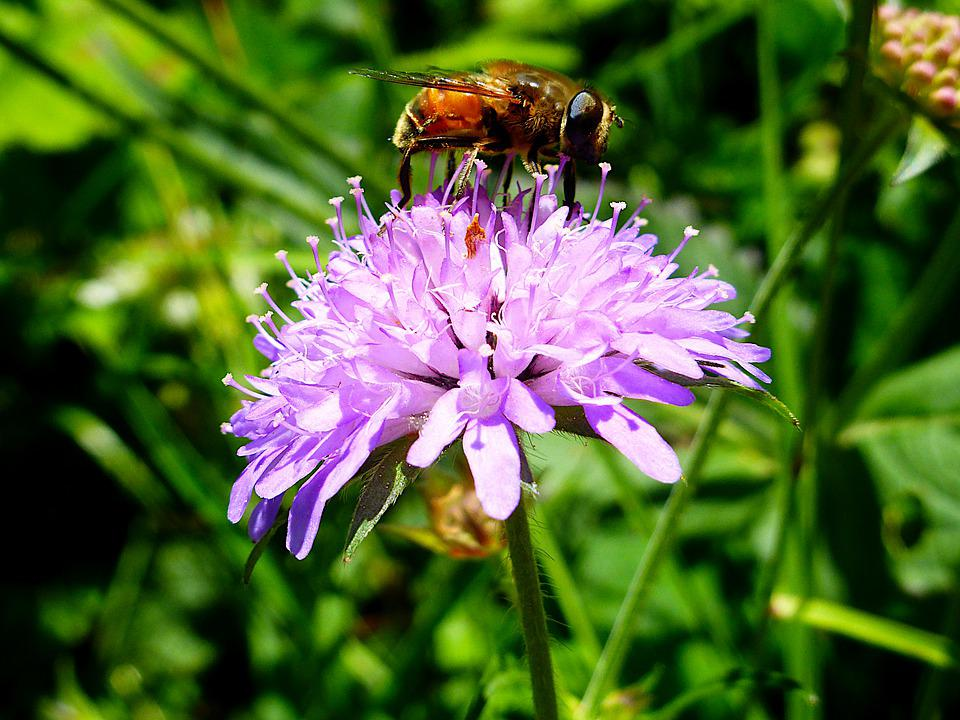 Insect, Bee, Pollen, Honey, Nature, Flower, Pollination