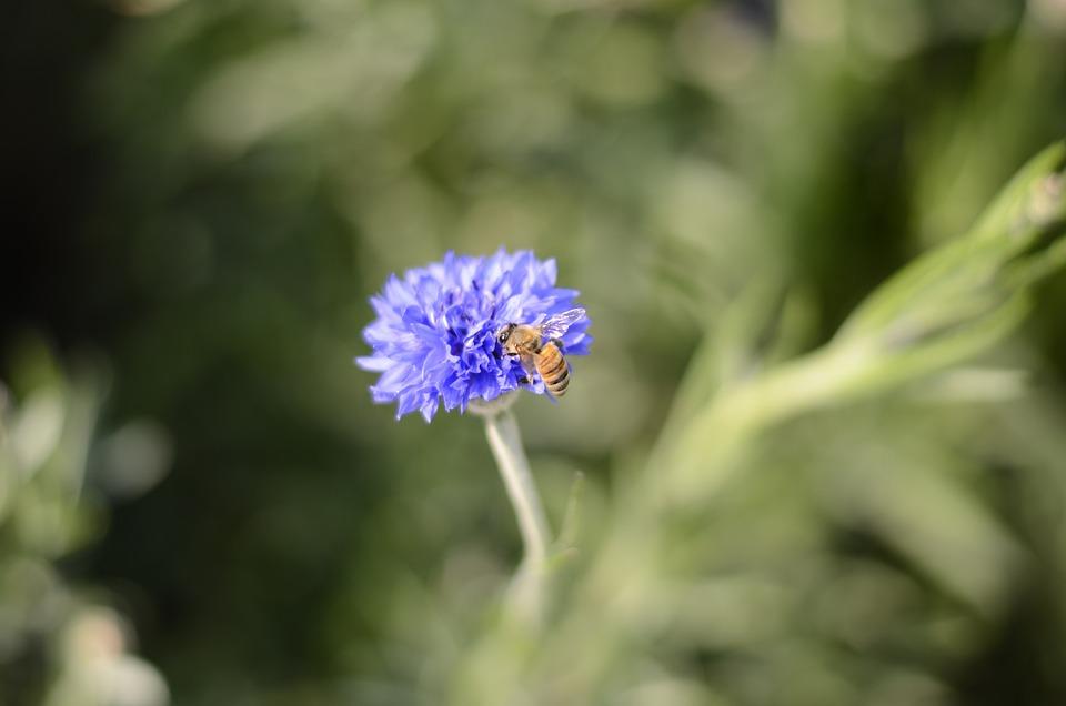 Bee, Flower, Plant, Blue Flowers